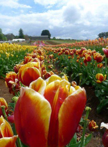 03 Tesselaar Tulip Farm at Lilydale